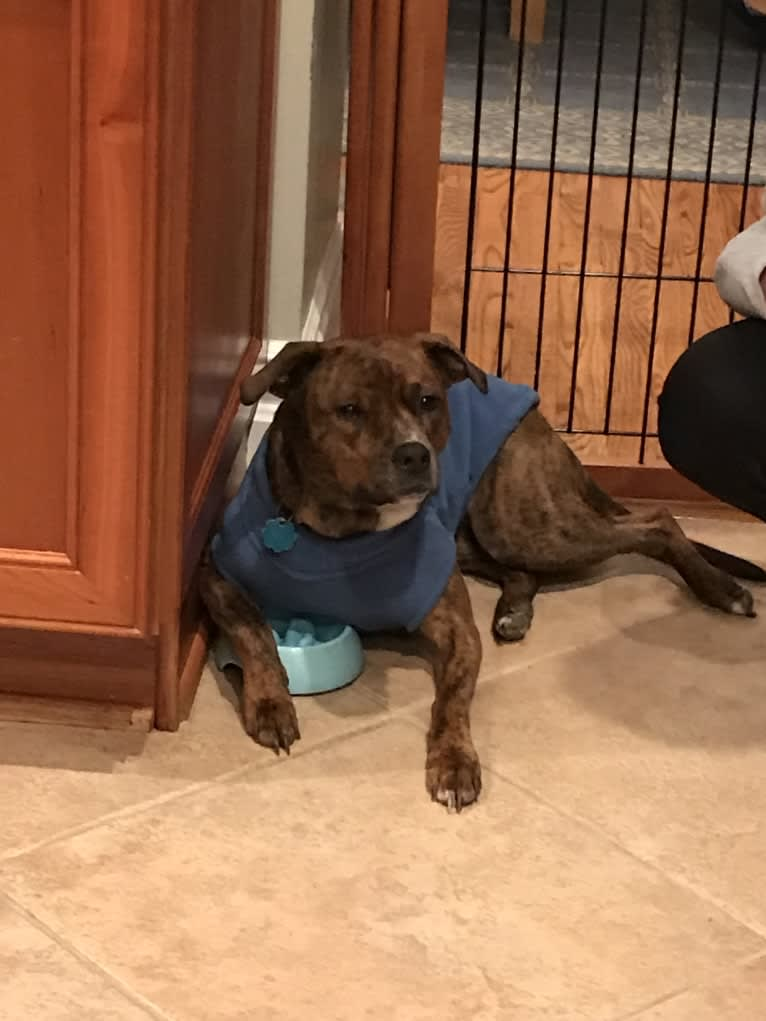 Photo of Meadow, an American Pit Bull Terrier, American Bully, Chow Chow, and Mixed mix in Richmond, Virginia, USA