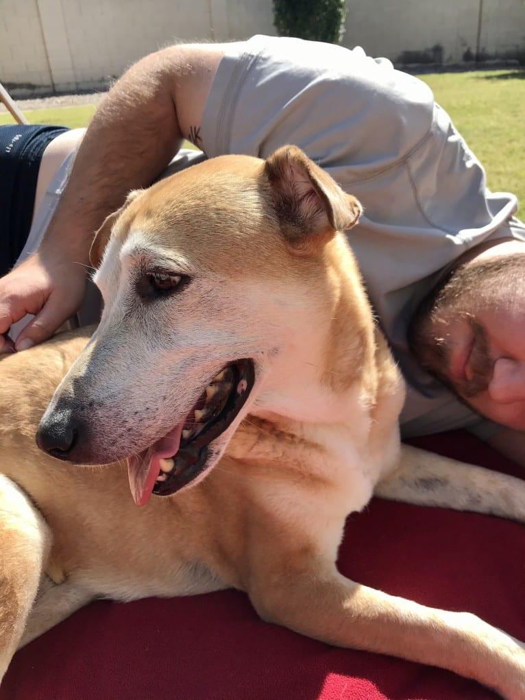 Photo of Teagan, an American Pit Bull Terrier, Australian Shepherd, Chow Chow, Chinese Shar-Pei, German Shepherd Dog, and Mixed mix in Phoenix, Arizona, USA