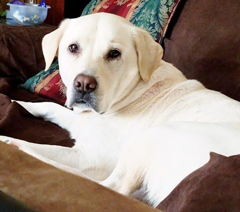 Photo of YOGI, a Labrador Retriever, American Pit Bull Terrier, Border Collie, Siberian Husky, Chow Chow, and Mixed mix in Alexander City, Alabama, USA