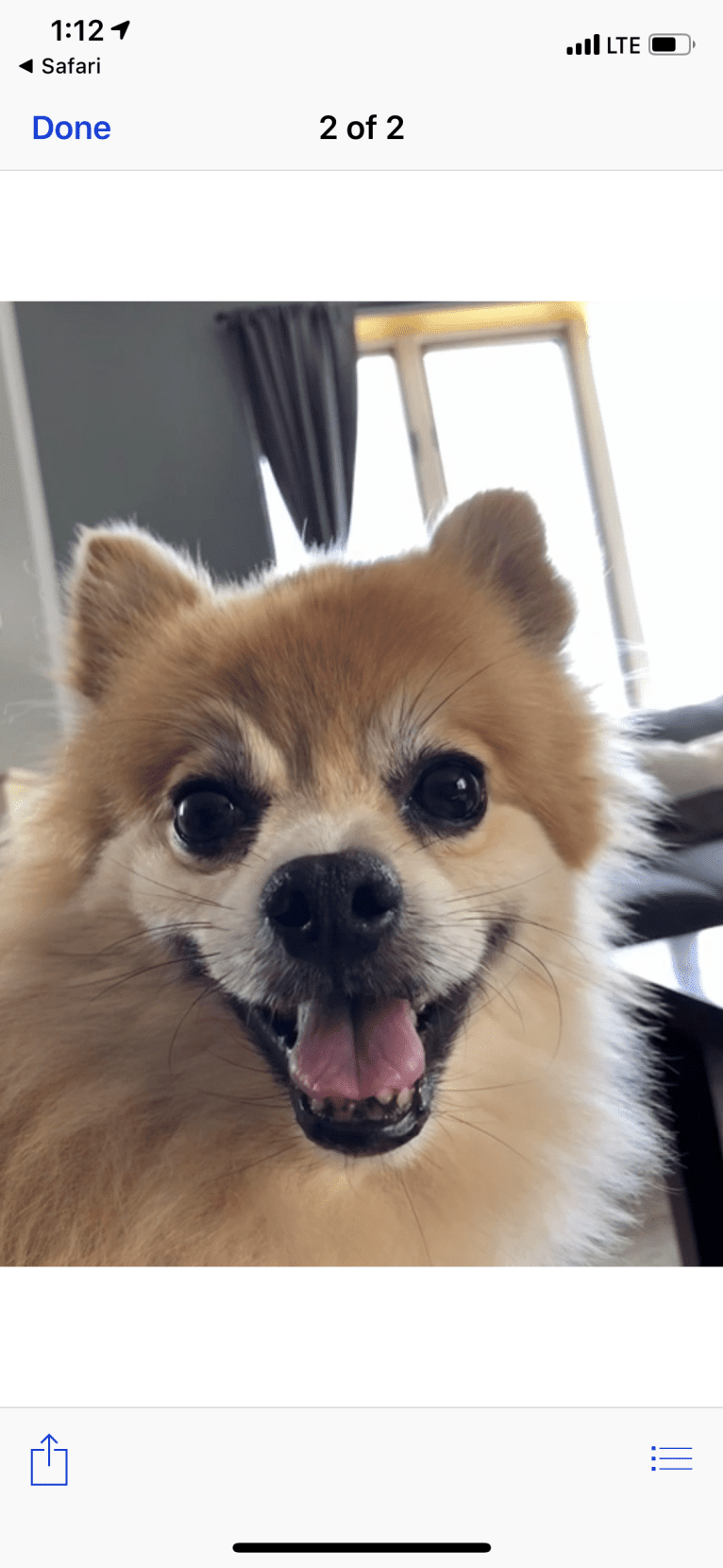 Photo of Rusty, a Pomeranian  in Chicago, Illinois, USA