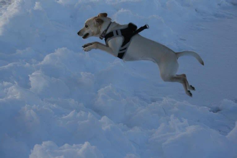 Photo of Stanley, a Cocker Spaniel, Labrador Retriever, Pug, American Eskimo Dog, and Mixed mix in Kentucky, USA