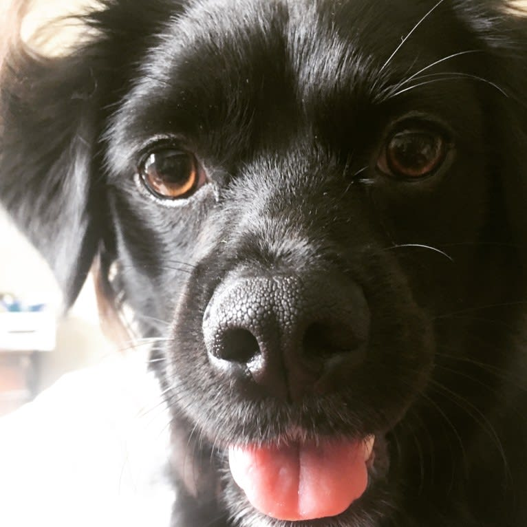 Photo of Jackson aka Jack, a Chihuahua, Cocker Spaniel, Shih Tzu, Pekingese, Poodle (Small), and Mixed mix in Rohnert Park, California, USA