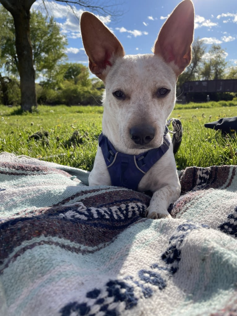 Photo of Marty, an American Pit Bull Terrier, Chihuahua, Australian Cattle Dog, and Mixed mix in Louisiana, USA