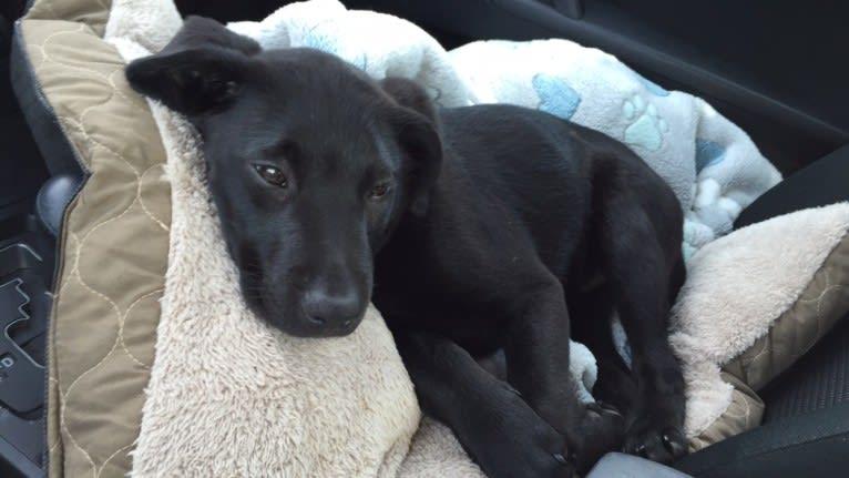 Photo of Charlie, an Australian Cattle Dog and Labrador Retriever mix in Tupelo Lee Humane Society, Cliff Gookin Boulevard, Tupelo, MS, USA