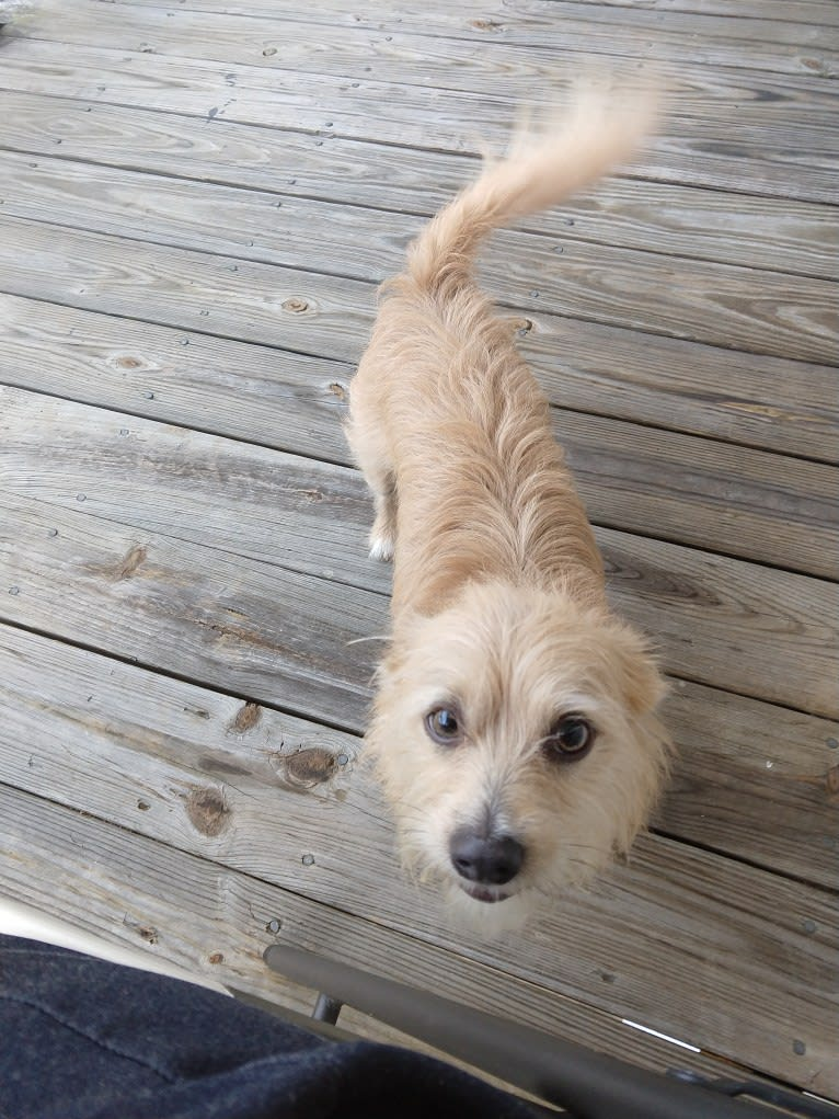 Photo of Chipmunk, a Shih Tzu, Chihuahua, and Poodle (Small) mix