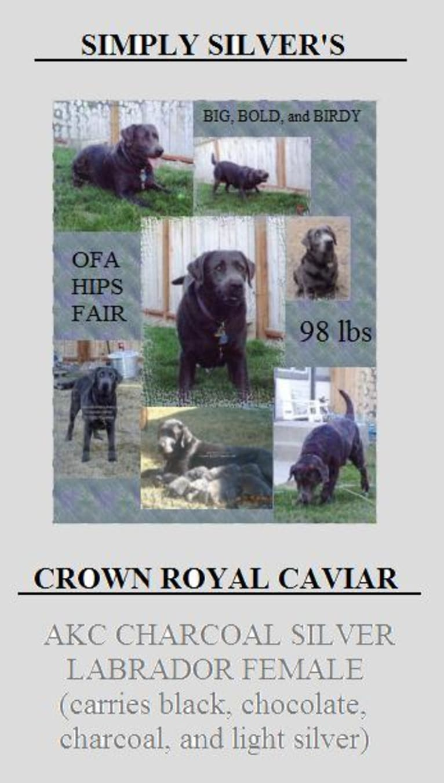 Photo of Caviar, a Labrador Retriever  in Payette, ID, USA