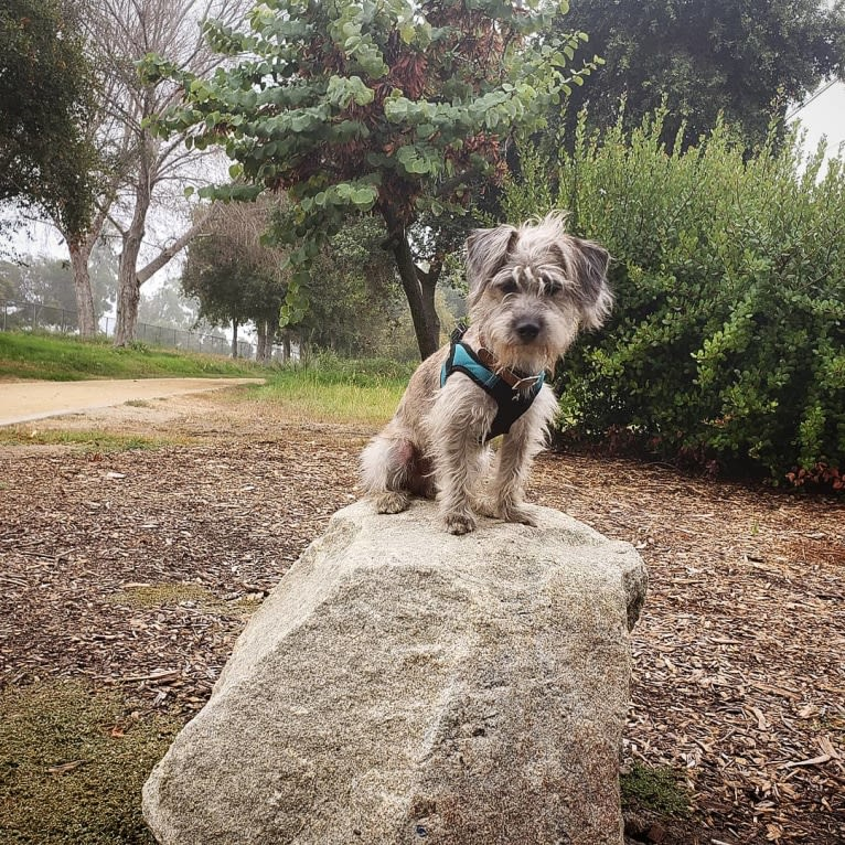 Photo of Archibald, a Dachshund, Poodle (Small), Chihuahua, Shih Tzu, Miniature Pinscher, and Mixed mix in Lakewood, California, USA