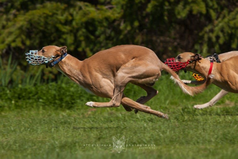 Photo of Keatz, a Whippet  in Atlanta, GA, USA