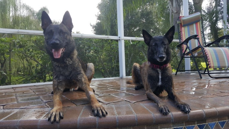 Photo of Jagger, a Belgian Malinois and German Shepherd Dog mix in Germany