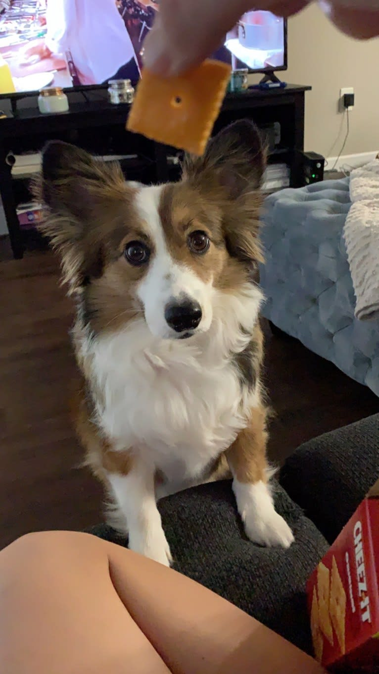 Photo of Lily, a Border Collie and Pembroke Welsh Corgi mix in Dallas, Texas, USA