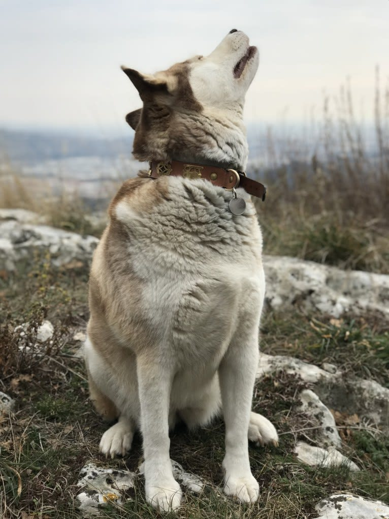 Photo of Milady, a Siberian Husky mix