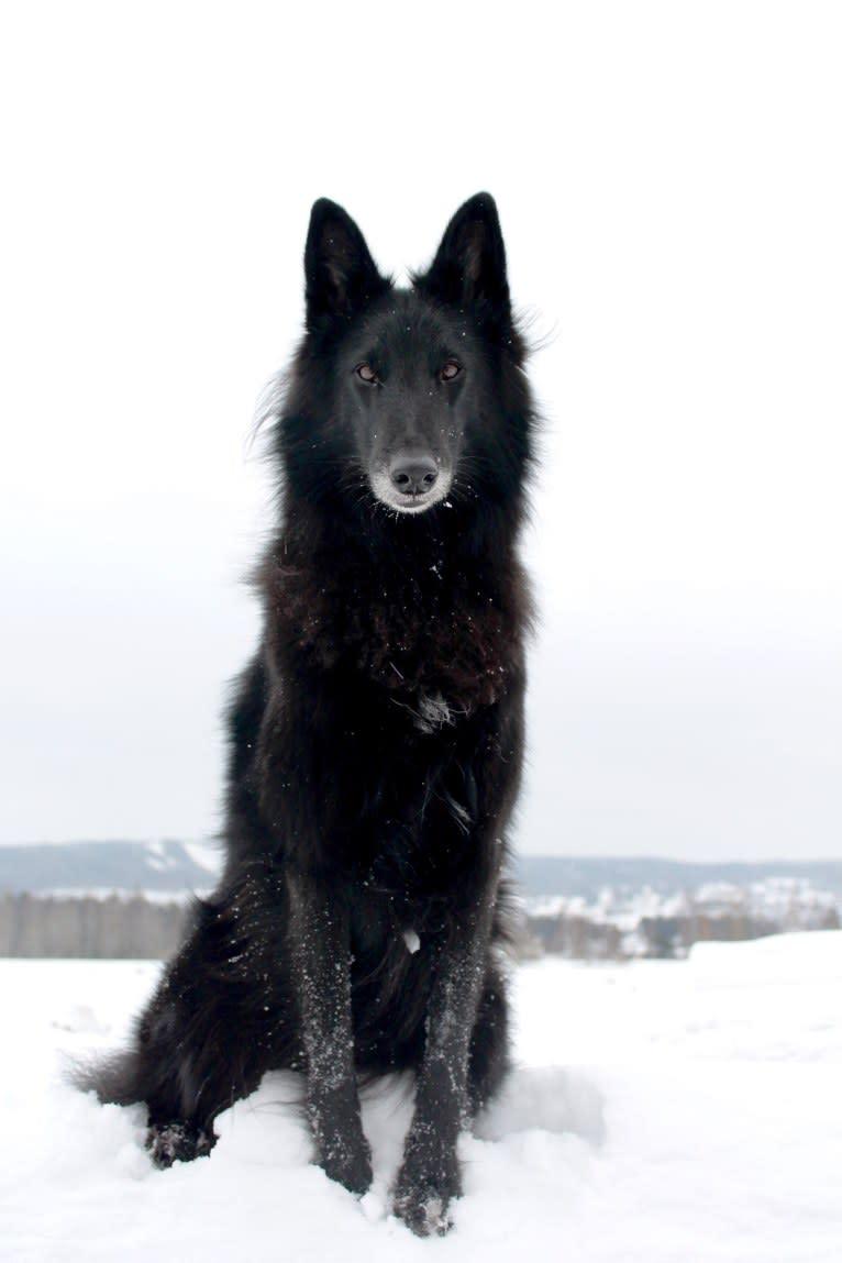 Photo of Shanti, a Belgian Shepherd  in Elverum, Norway