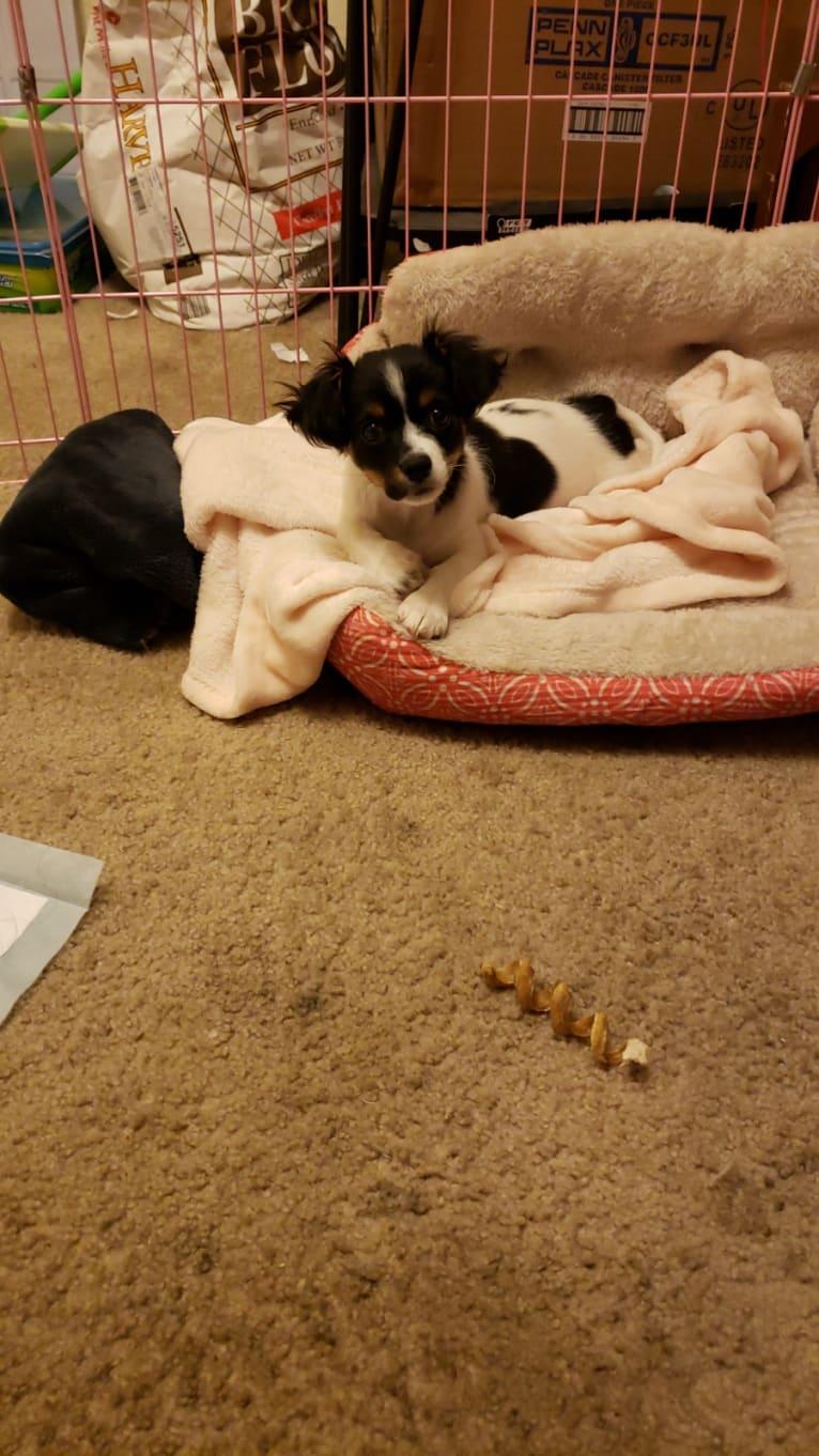 Photo of Riley, a Chihuahua, Poodle (Small), Shih Tzu, Cocker Spaniel, and Pomeranian mix in Yakima, WA, USA