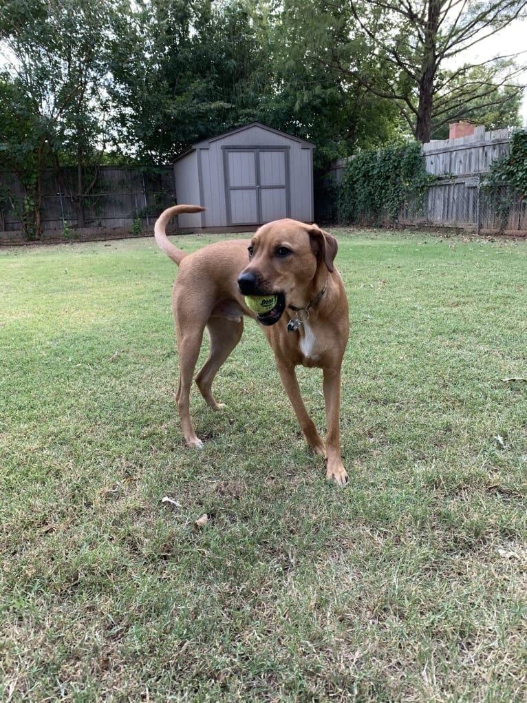 Photo of Noodle, a Rottweiler, Great Pyrenees, Chow Chow, Miniature Schnauzer, Labrador Retriever, and Mixed mix in Oklahoma, USA