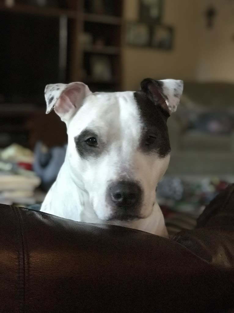 Photo of Remi, an American Pit Bull Terrier and American Staffordshire Terrier mix in Tulare, California, USA