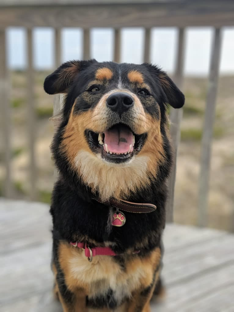 Photo of Felicia, a Chow Chow, Doberman Pinscher, Border Collie, Labrador Retriever, and Mixed mix in Christiansburg, Virginia, USA