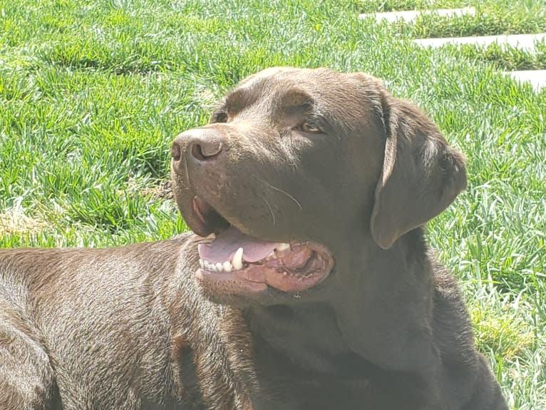 Photo of Sir Duke of Legends, a Labrador Retriever  in Seattle, WA, USA