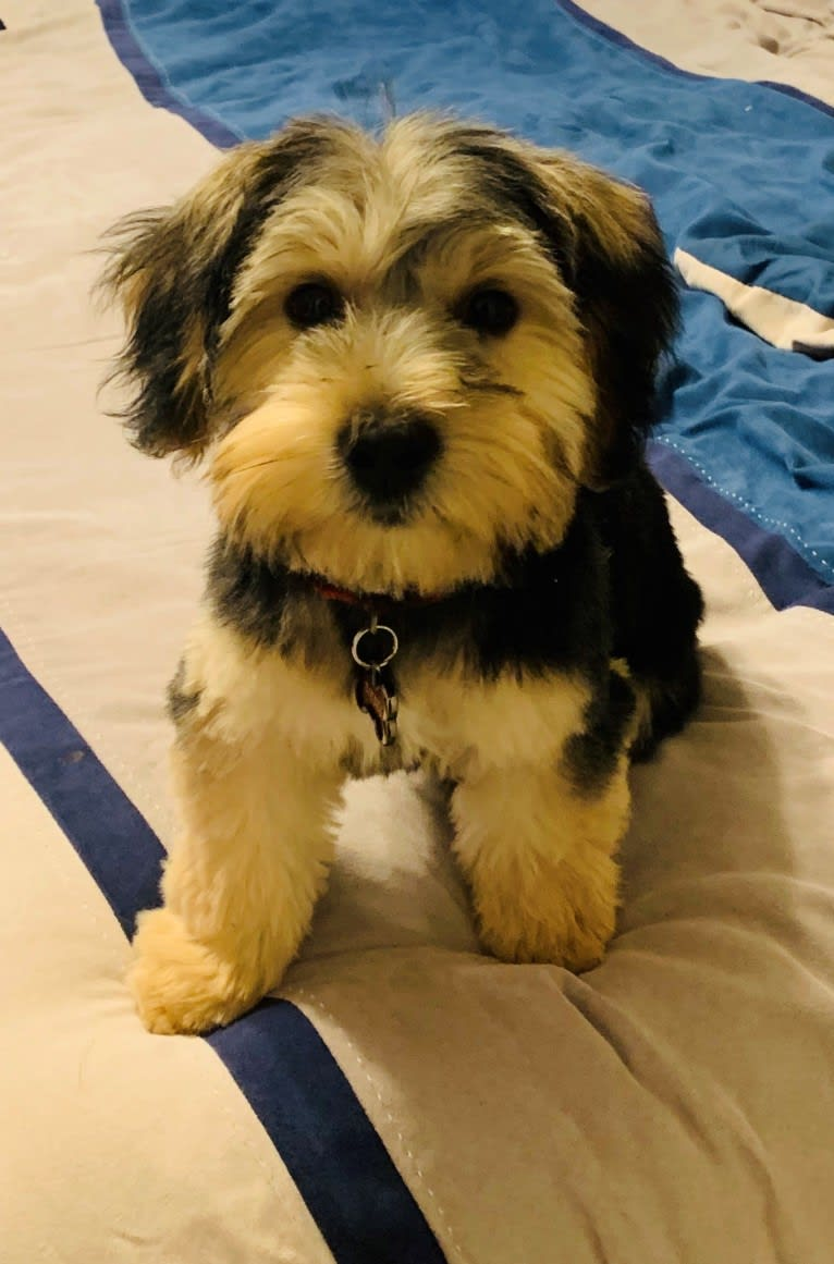 Photo of Diesel, a Yorkshire Terrier, Bichon Frise, Maltese, and Silky Terrier mix in Oklahoma, USA