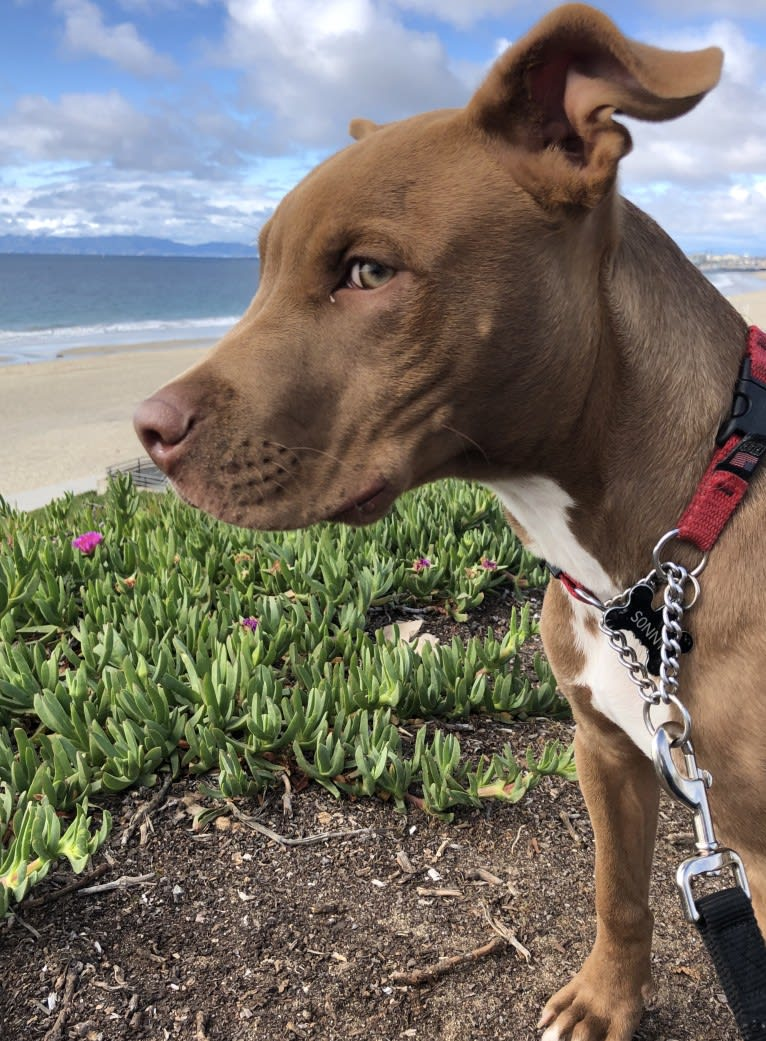 Photo of Sonny, an American Pit Bull Terrier, American Bulldog, Dogo Argentino, and American Staffordshire Terrier mix in Los Angeles, California, USA