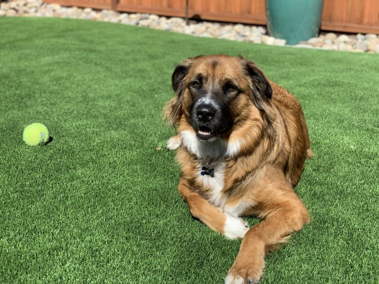 Photo of Oliver, an Australian Shepherd, German Shepherd Dog, Chow Chow, Australian Cattle Dog, and Mixed mix in Santa Clara, California, USA