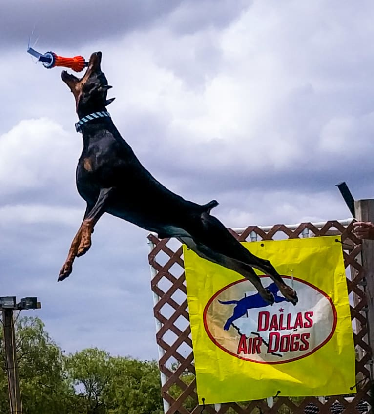 Photo of CASTLE, a Doberman Pinscher  in North Richland Hills, Texas, USA