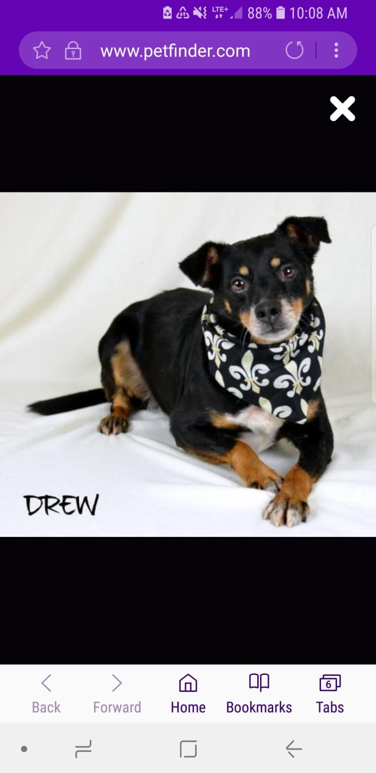 Photo of Drew, a Miniature Schnauzer, Chihuahua, Beagle, and Rat Terrier mix in Missouri, USA