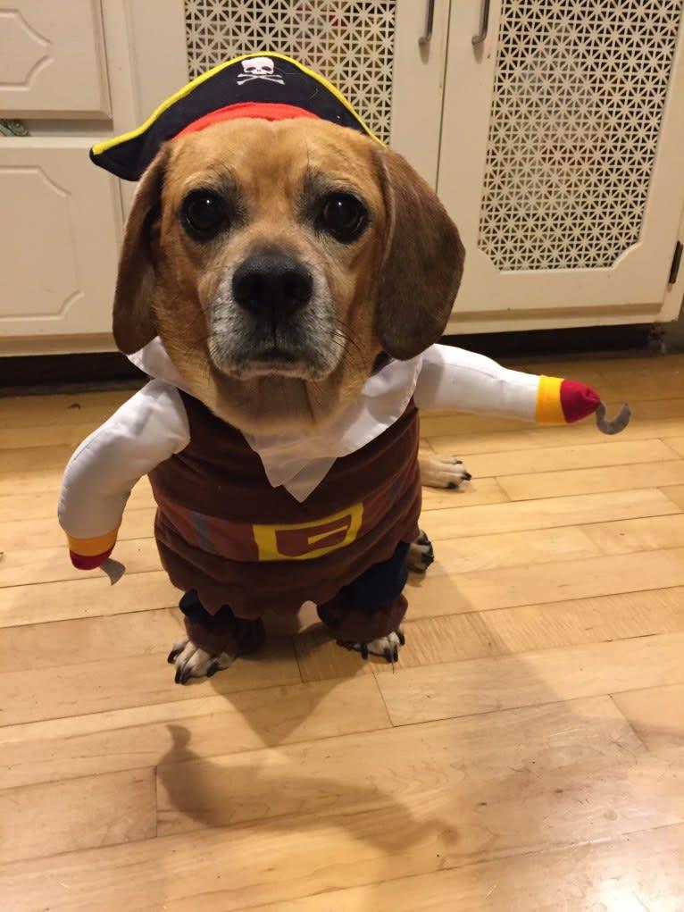 Photo of Milo, a Puggle  in Minneapolis, Minnesota, USA
