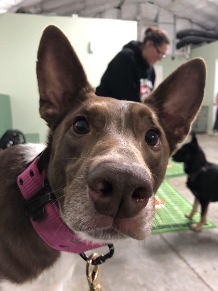 Photo of Gemini, a Border Collie, Australian Shepherd, and German Shepherd Dog mix in Chicago, IL, USA