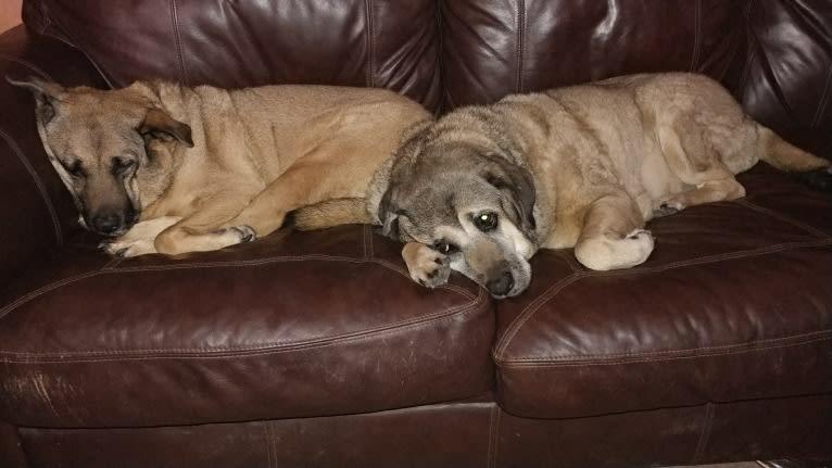 Photo of Fiona Emmy-Olivia LaRosa, a Neapolitan Mastiff, Australian Cattle Dog, Chow Chow, American Pit Bull Terrier, German Shepherd Dog, and Mixed mix in Tucson, Arizona, USA