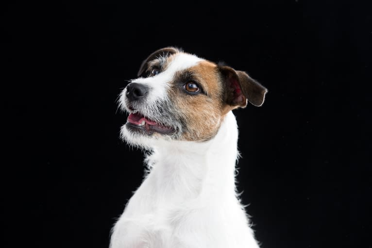 Photo of PSF Mini Wildfire Vroom Camden, a Russell-type Terrier and Staffordshire Bull Terrier mix in New York, NY, USA