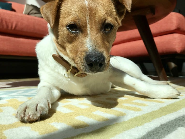 Photo of Reese, a Russell-type Terrier, Yorkshire Terrier, Chihuahua, and Beagle mix in Lee County, VA, USA