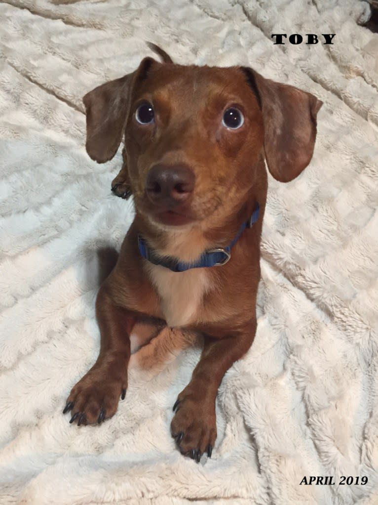 Photo of Tobi, a Dachshund, Chihuahua, and Mixed mix in Purvis, Mississippi, USA