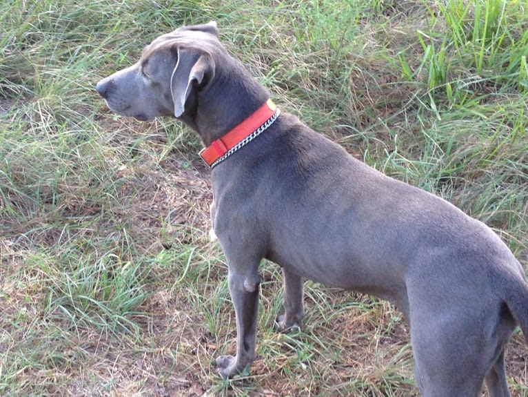 Photo of Lynn, a Blue Lacy  in Manvel, Texas, USA