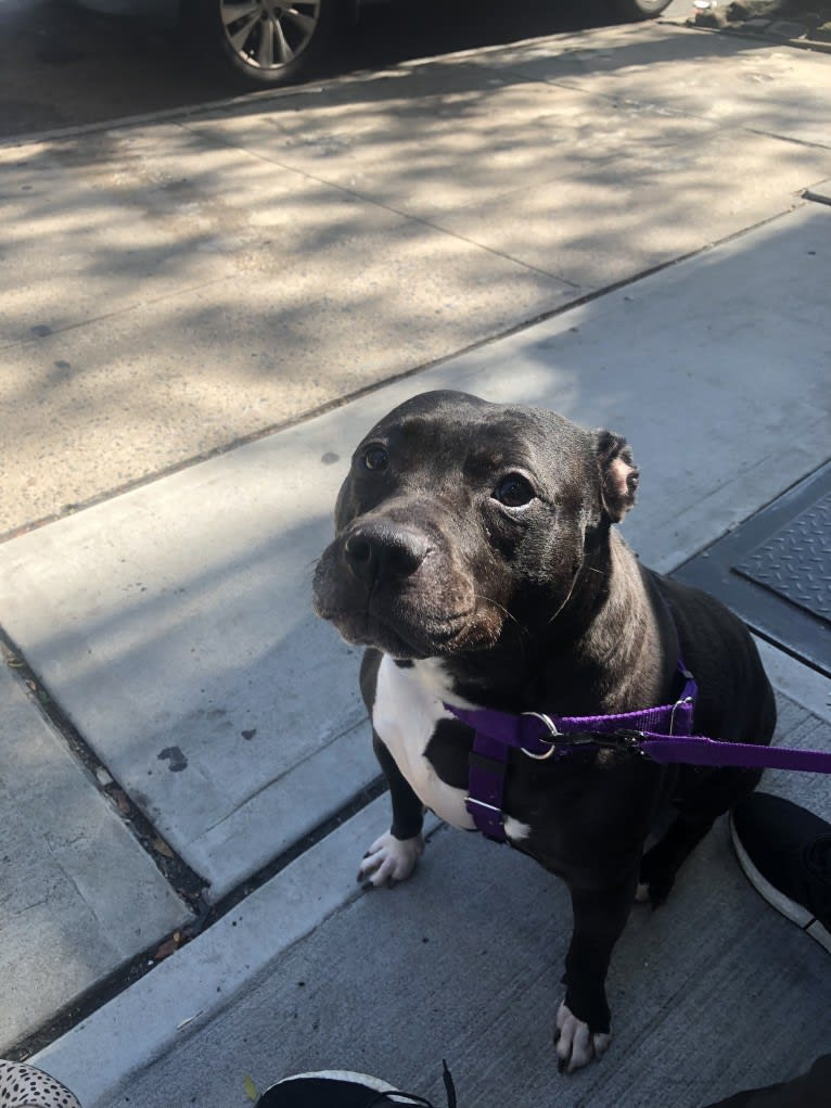Photo of Monroe, an American Pit Bull Terrier and American Staffordshire Terrier mix in New York, New York, USA