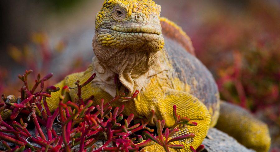 Enchanting Travels South America Tours iguana 1