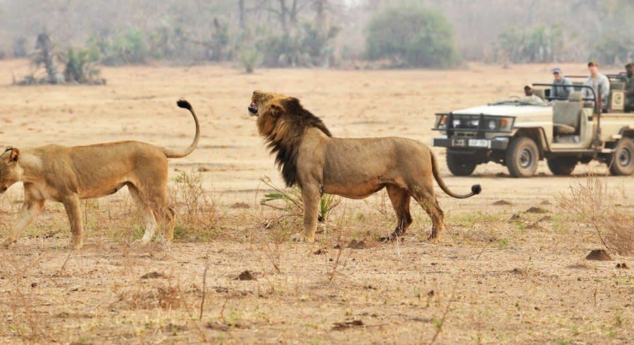 Lions in Kafue, Zambia