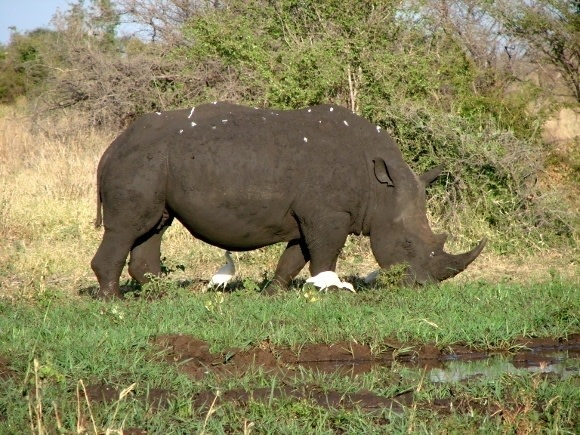 Conserving the Big Five's Black Rhino in Kenya