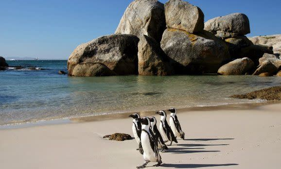 Pinguine am Strand, Südafrika