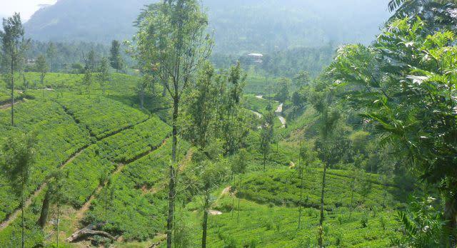 Terrassenförmig angelegte Plantagen in Sri Lanka
