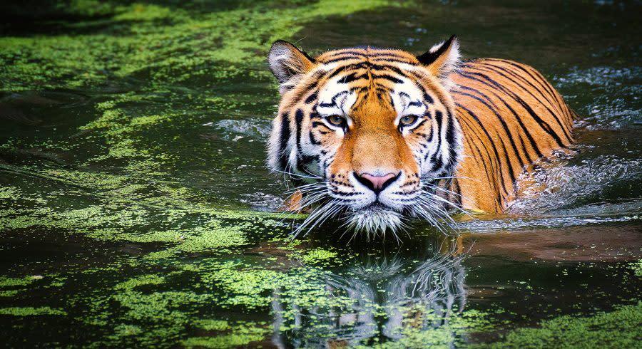 Tiger in Indien