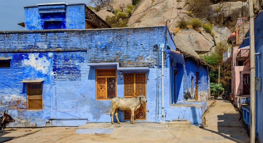 Enchanting Travels North India Tours A Street Cow on the Street in front of a Blue Building in the Town of Narlai