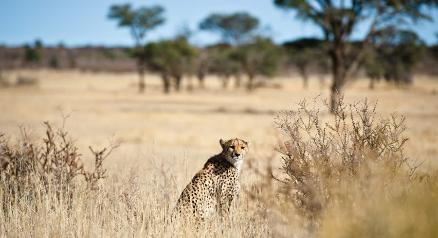 Cheetah in the Kalahari Desert - Discover the Best Time to Visit the Okavango Delta