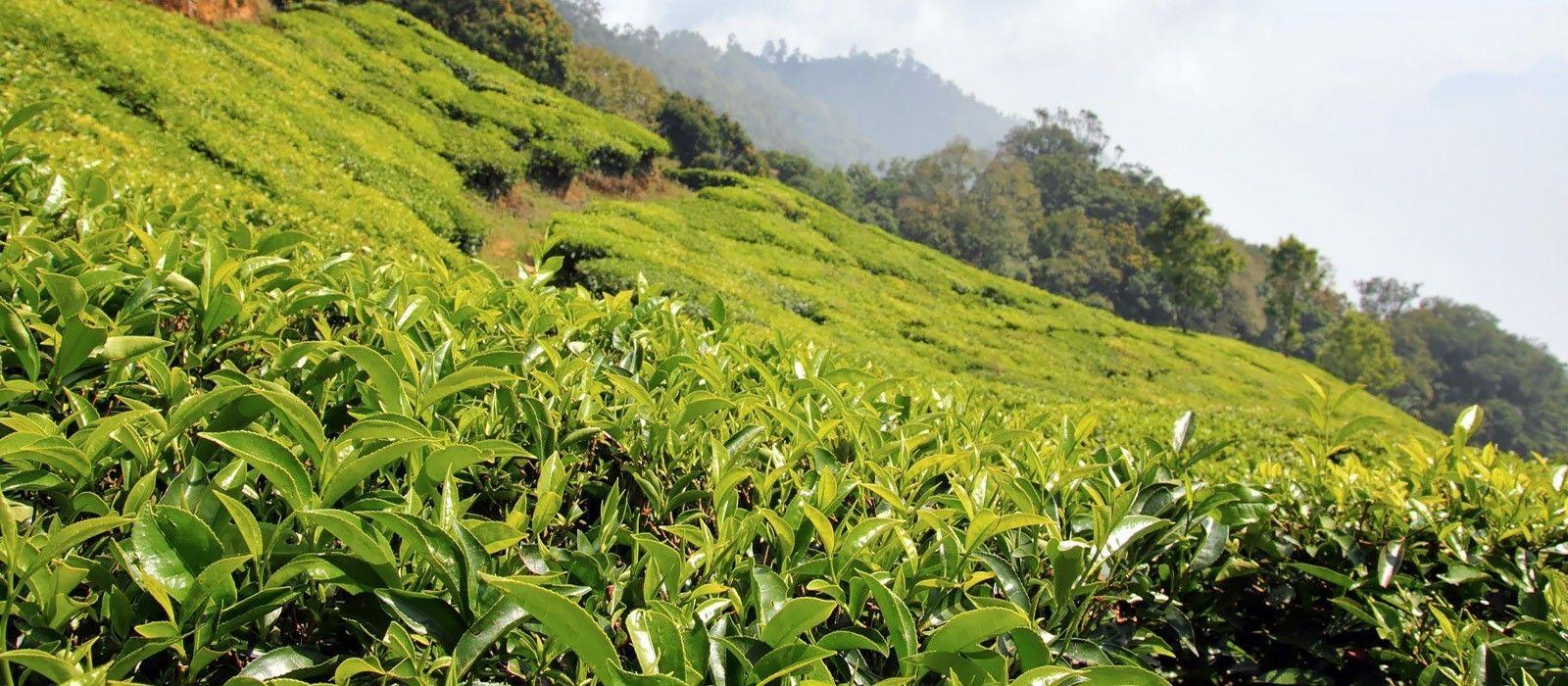 Darjeeling: Teegenuss & Berge Urlaub 3