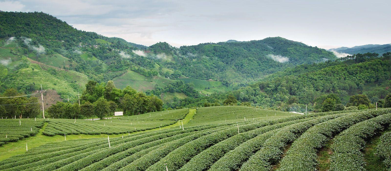 Darjeeling: Teegenuss & Berge Urlaub 1