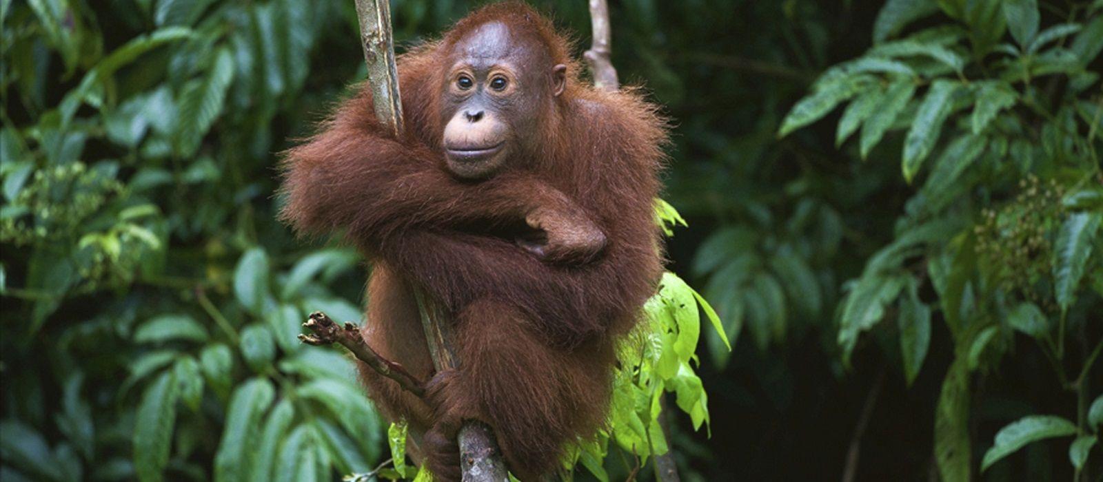 Orangutans und Tempel von Indonesien Urlaub 2