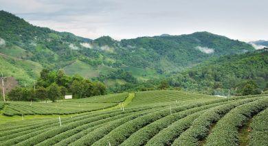Empfohlene Individualreise, Rundreise: Darjeeling: Teegenuss & Berge