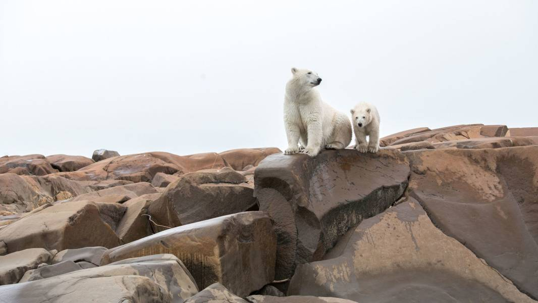 Polar Bears Summer Arctic Adventure Cr Destination Canada