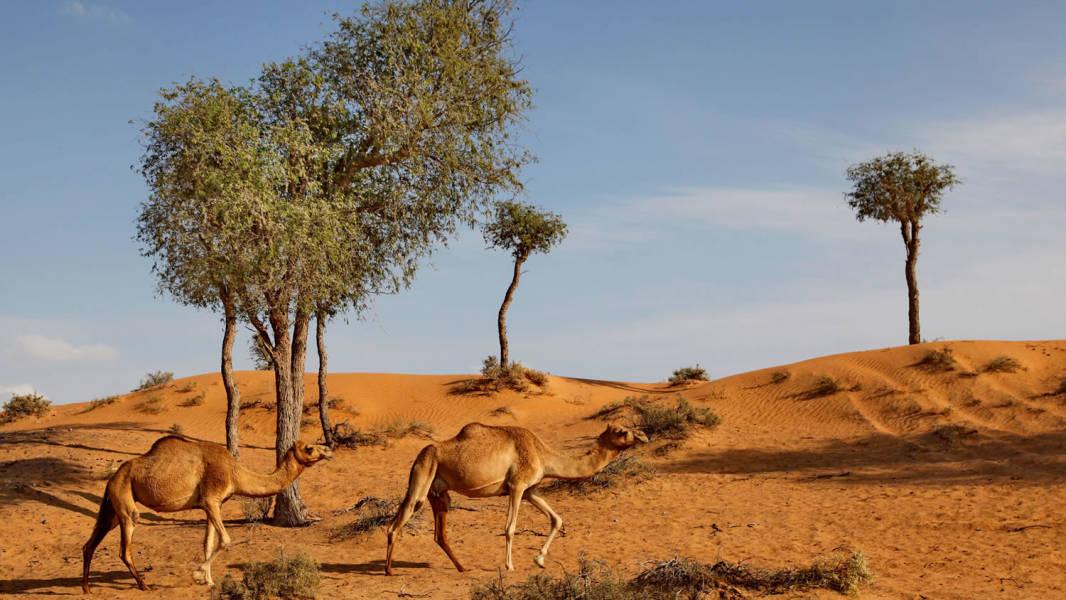 a herd of giraffe walking across a dry grass field