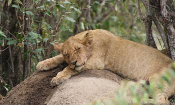a lion lying down in a forest