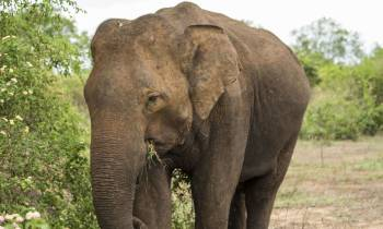 Elephant, Udawalawe National Park